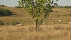 Le mucche pascono sul pascolo Concetto di affari della latteria Bestiame nel prato Il concetto dell'allevamento di bestiame ecolo video d archivio