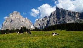 Le mucche pascono sul pascolo/nelle montagne distintive della dolomia del fondo Immagini Stock