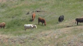 Le mucche pascono sul pendio di collina stock footage