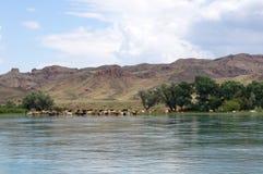 Le mucche pascono sulla riva del fiume in buon tempo Fotografia Stock
