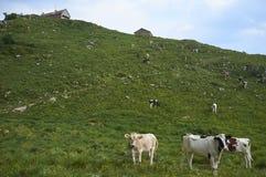 Le mucche pascono in un campo fotografia stock