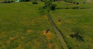 Le mucche pascono in un prato archivi video