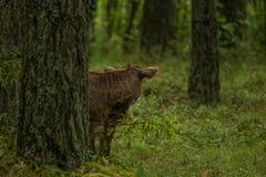 Le mucche selvagge curiose in una foresta generano le mucche con il vitello Fotografie Stock
