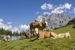 Le mucche si avvicinano al lago Seeebensee Immagine Stock Libera da Diritti