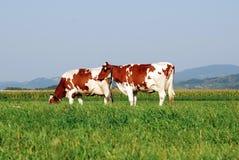 le mucche sistemano il pascolo dei due fotografia stock