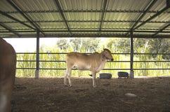 Le mucche sono alimentate il bestiame Immagine Stock