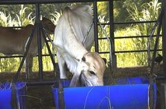 Le mucche sono alimentate il bestiame Fotografie Stock
