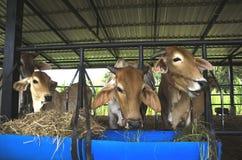 Le mucche sono alimentate il bestiame Immagini Stock Libere da Diritti