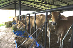 Le mucche sono alimentate il bestiame Fotografia Stock Libera da Diritti