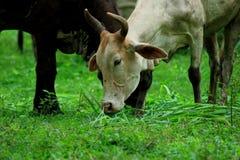 Le mucche sono animali Fotografie Stock Libere da Diritti