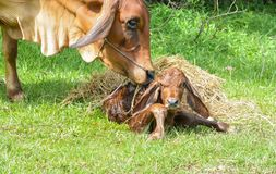 Le mucche sono la nascita ed il sole immagine stock