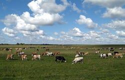 Le mucche sono pascute su un prato fotografia stock
