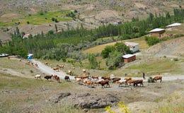 Le mucche stanno ritornando a casa dal pascolo, Sivas, Turchia fotografia stock libera da diritti