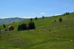 Le mucche su un paese sistemano con una casa e le colline Fotografia Stock