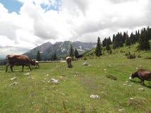 Le mucche sul pascolo fotografie stock libere da diritti
