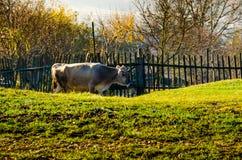 Le mucche sul pascolo in autunno, montagne e vecchio blu recinta Immagine Stock