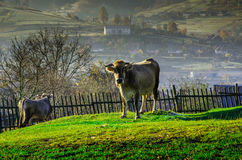 Le mucche sul pascolo in autunno, montagne e vecchio blu recinta Fotografia Stock Libera da Diritti