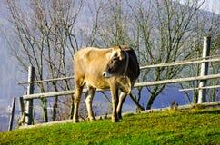 Le mucche sul pascolo in autunno, montagne e vecchio blu recinta Immagini Stock Libere da Diritti