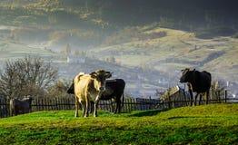 Le mucche sul pascolo in autunno, montagne e vecchio blu recinta Fotografie Stock