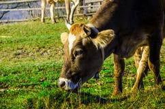 Le mucche sul pascolo in autunno, montagne e vecchio blu recinta Immagini Stock