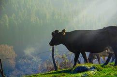 Le mucche sul pascolo in autunno, montagne e vecchio blu recinta Fotografie Stock Libere da Diritti