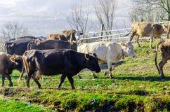 Le mucche sul pascolo in autunno, montagne e vecchio blu recinta Fotografia Stock