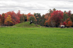 Le mucche sull'autunno pascolano, Monroe County, Wisconsin, U.S.A. Fotografia Stock