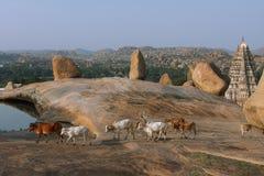 Le mucche sulla collina vicino al tempiale di Hampi Fotografia Stock