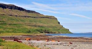Le mucche sulla spiaggia al Loch elemosinano Fotografia Stock