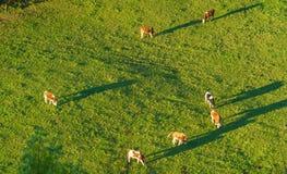 Le mucche svizzere pascono sulla vista aerea del prato, Gruyeres, Svizzera Fotografia Stock