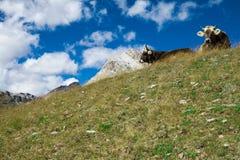 Le mucche svizzere sul prato nelle alpi svizzere si avvicinano a Sankt Moritz Immagini Stock Libere da Diritti