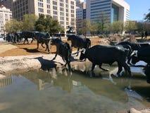 Le mucche texane di Dallas Texas Fotografia Stock Libera da Diritti