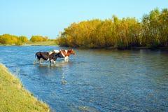 Le mucche vanno al guado fotografie stock libere da diritti