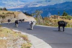 Le mucche vanno lungo la strada in Ecuad immagini stock libere da diritti