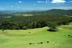 Le mucche vengono a casa 1 Fotografie Stock Libere da Diritti