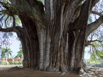 Le mucronatum de del Tule Taxodium de rbol de  de à est un cyprès dans la ville mexicaine du sud de Santa Maria del Tule Oaxaca photographie stock