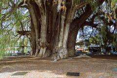Le mucronatum de del Tule Taxodium de rbol de  de à est un cyprès dans la ville mexicaine du sud de Santa Maria del Tule Oaxaca image libre de droits