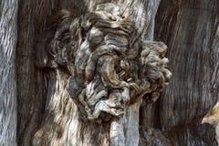 Le mucronatum de del Tule Taxodium de rbol de  de à est un cyprès dans la ville mexicaine du sud de Santa Maria del Tule Oaxaca photographie stock libre de droits