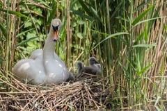 Le muet a nag? parenting les jeunes cygnes sur le nid photos stock