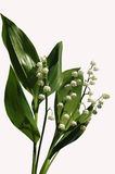 Le muguet. Photo stock
