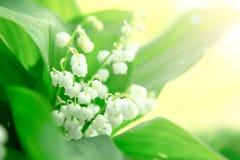 Le muguet Fleurs de nature dans le jour ensoleillé Photo libre de droits