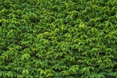 Le mur complètement couvert de lierre vert part Photo libre de droits