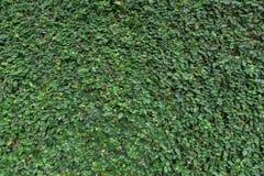 Le mur couvert de nombre important de vigne sauvage part Photo libre de droits