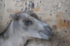 Le mur de chameau images libres de droits