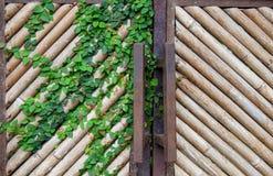 Le mur en bambou sec jaune naturel, porte pour le fond, avec un liseron part Photos stock