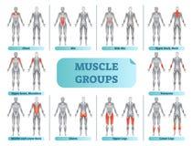 Le muscle femelle groupe l'illustration anatomique de vecteur de forme physique, sports formant l'affiche instructive illustration de vecteur