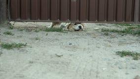 Le museau du chien métis fâché sur la chaîne écorce fort et des gardes de dessous la porte de fer dans sa cour banque de vidéos