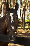 Le museau est procès brun de cheval Images stock