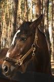 Le museau est procès brun de cheval Image libre de droits