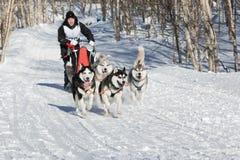 Le musher de sportive court la luge tirée par des chiens dans la forêt un jour ensoleillé Image libre de droits